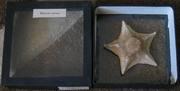 Морская звезда - большая 1