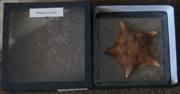 Морская звезда - большая 2